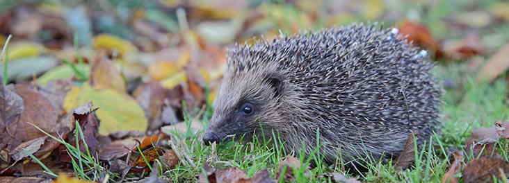 Hedgehog in the garden during autumn © RSPCA Photolibrary