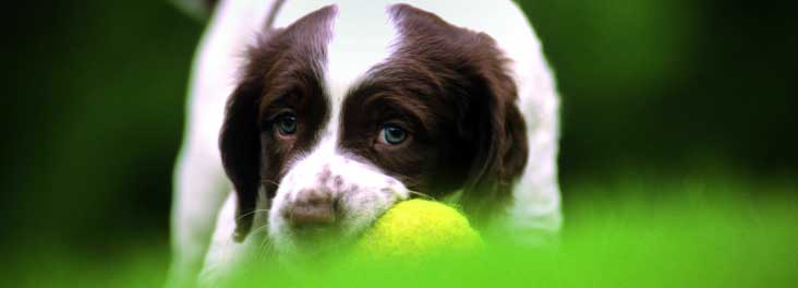 Springer spaniel with tennis ball © RSPCA photolibrary