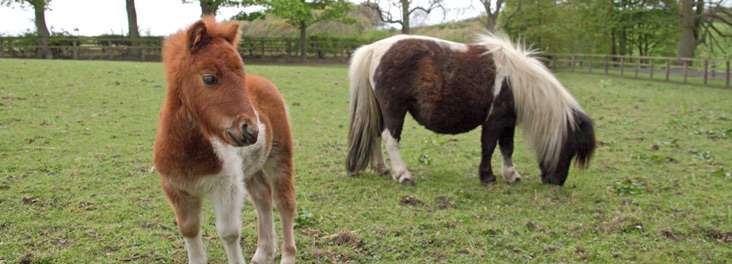 Four-week-old Minature Shetland Pony Sunny and adult Minature Shetland Pony Sherry © RSPCA photolibrary