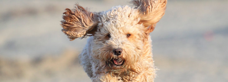 Cockapoo dog playing on beach © RSPCA photolibrary