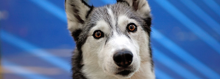 Husky dog © RSPCA photolibrary