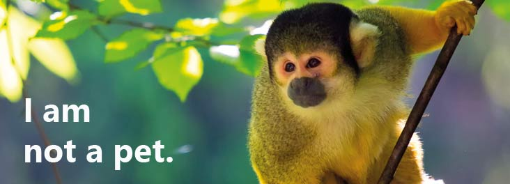 A squirrel monkey is not a pet © istock