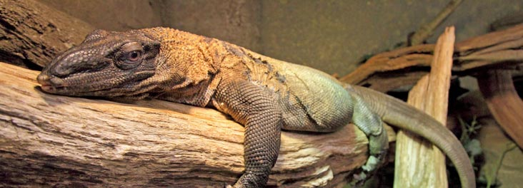 Rough Necked Monitor Lizard © RSPCA photolibrary