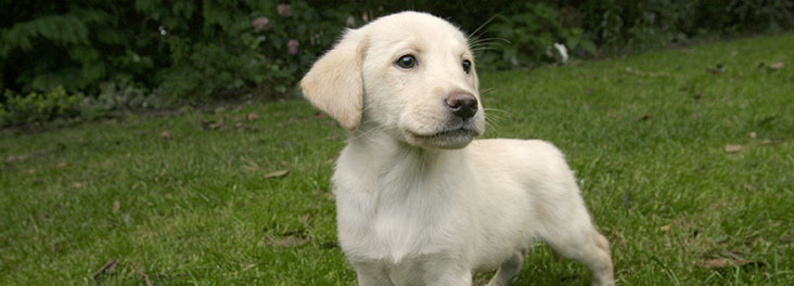 Labrador puppy in a field © RSPCA photolibrary