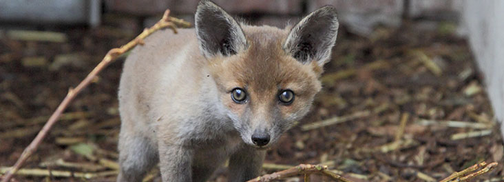 Portrait of single fox © RSPCA Photolibrary