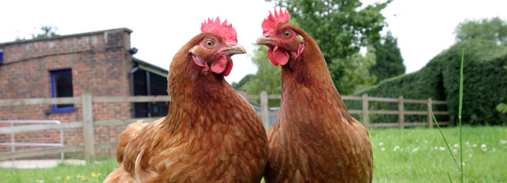 Two hens standing outdoors on the grass © RSPCA photolibrary