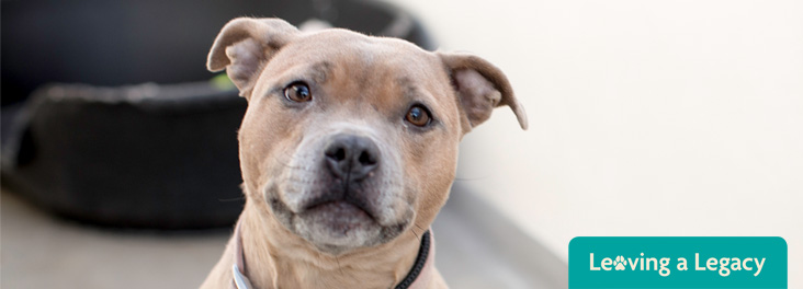 Staffy at RSPCA Rehoming Centre © RSPCA photolibrary
