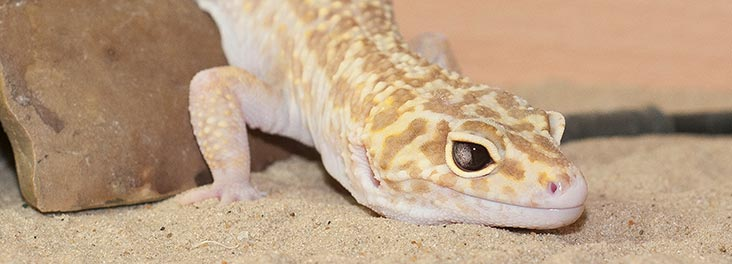 Leopard gecko care sheet | Advice for owners | RSPCA