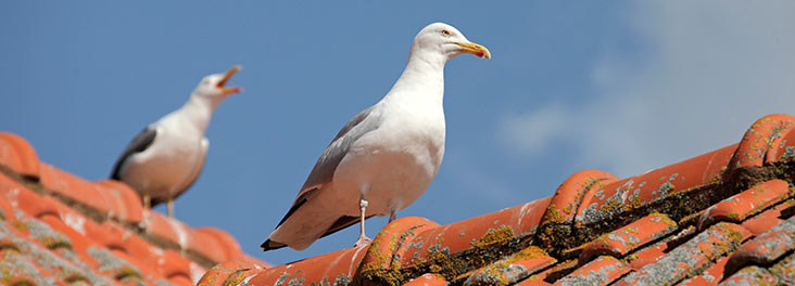 Two Herring Gulls perching on roof © RSPCA photolibrary