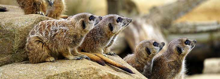 Advice And Information On Meerkats Rspca