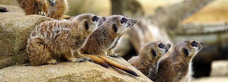 Meerkat Canva  ©