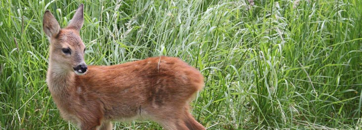Profile of orphaned Roe Deer © RSPCA photolibrary