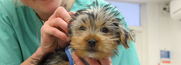 Veterinary Surgeon examining Yorkshire Terrier puppy© RSPCA