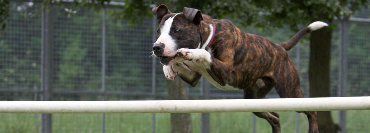 Staffordshire bull terrier dog performing agility trials © RSPCA photolibrary