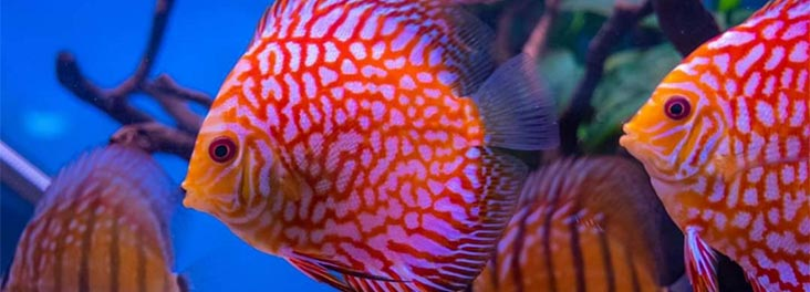 Discus fish in tank © Jason Sutcliffe