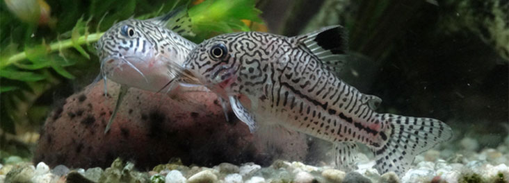 Corydoras julii © Fromholc Photography