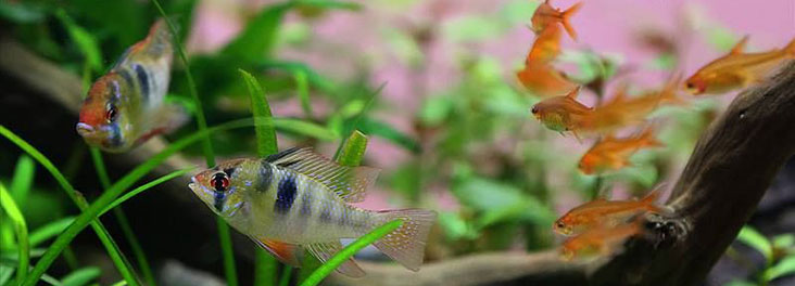 Gold rams and Gold tetras © Lauris Karpovis