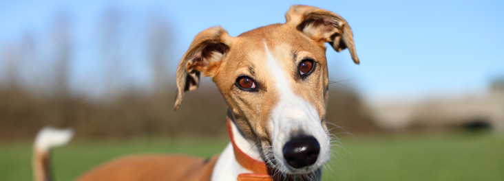 Portrait of single adult lurcher standing outdoors © RSPCA photolibrary