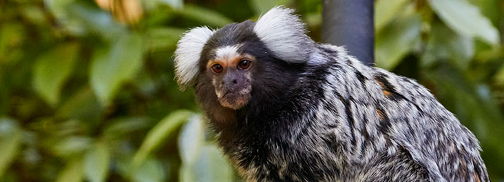 Common marmoset at Monkey World © RSPCA