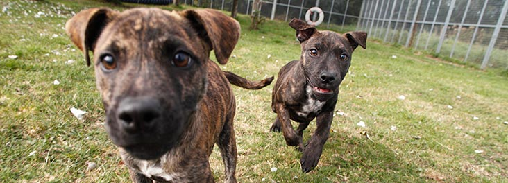 Two mixed-breed puppies playing in exercise area © RSPCA photolibrary