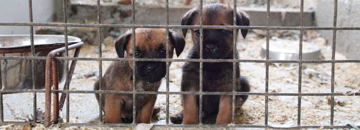 Two Border terrrier puppies sitting in a puppy farming kennel © RSPCA photolibrary