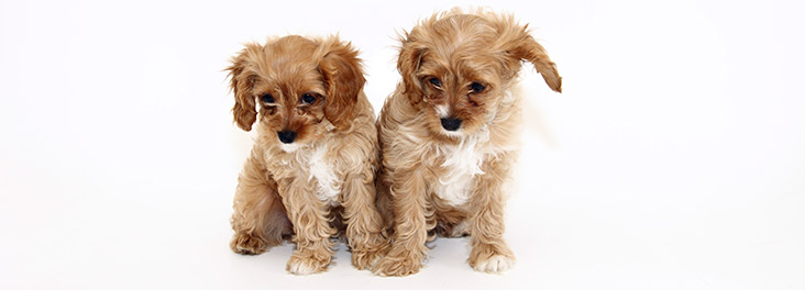 Two puppies sitting in a studio © RSPCA photolibrary