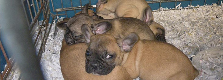 Group of French bulldog puppies in a cage © RSPCA