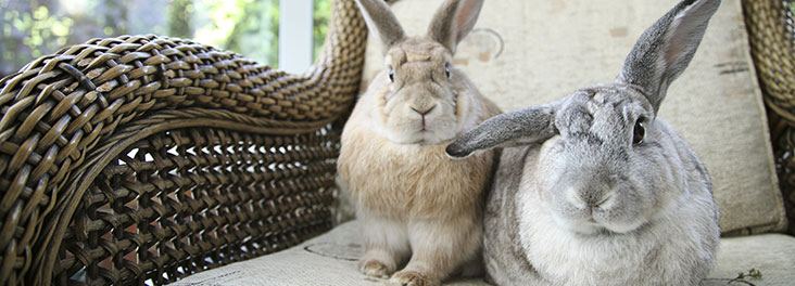 1106203 - Becky Murray/RSPCA - Domestic Rabbits Two adults sitting on chair in conservatory indoors © RSPCA photolibrary