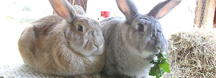 rabbit diet   rabbit welfare   tips advice health