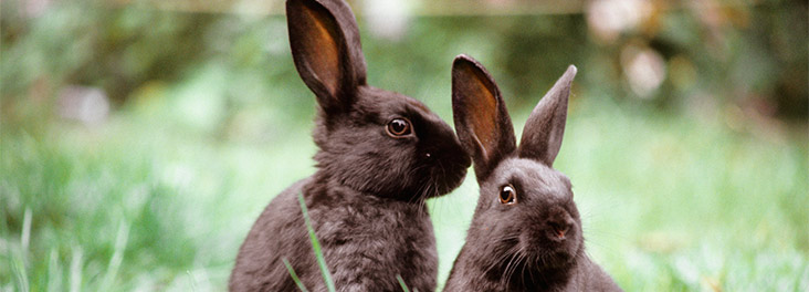 Domestic Rabbit Two adults sitting on grass outdoors © RSPCA Photolibrary