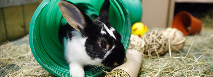 Single juvenile rabbit exploring plastic tube © RSPCA Photolibrary