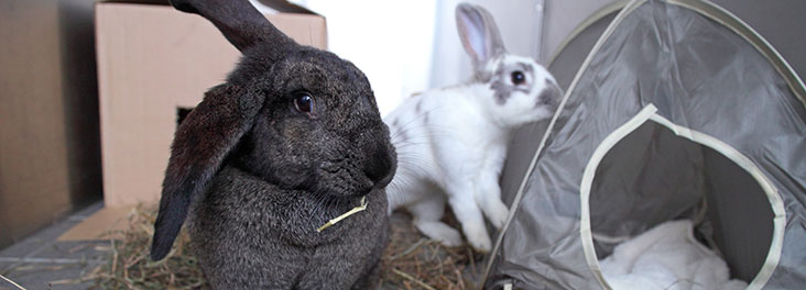 1094857 - Joe Murphy/RSPCA - Domestic Rabbit Pet rabbits with environmental enrichments © RSPCA photolibrary