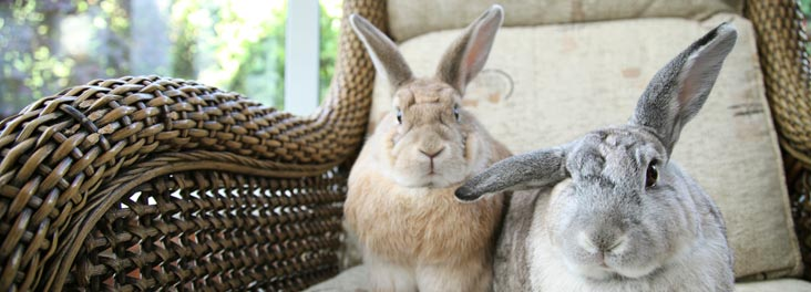 Two Domestic Rabbits sitting on chair in conservatory indoors © RSPCA photolibrary