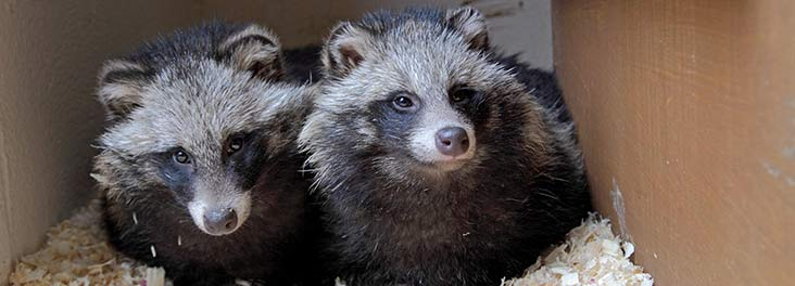 Raccoon dogs as pets