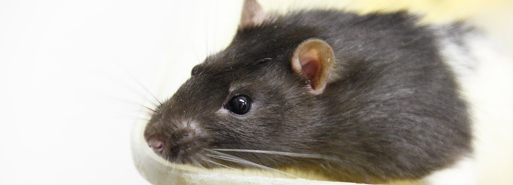 Rat © RSPCA photolibrary