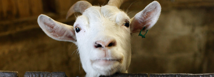 Single adult goat © RSPCA photolibrary