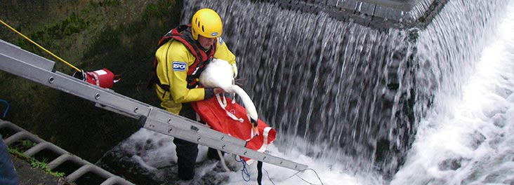 Inspector rescuing swan © RSPCA photolibrary