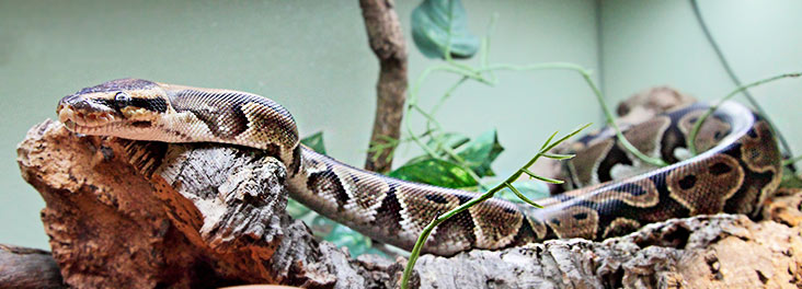 Royal python in vivarium © RSPCA photolibrary