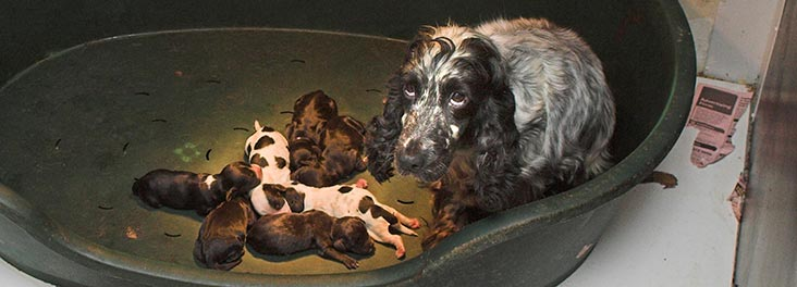 Cocker spaniel sitting with a litter of newborn puppies © RSPCA