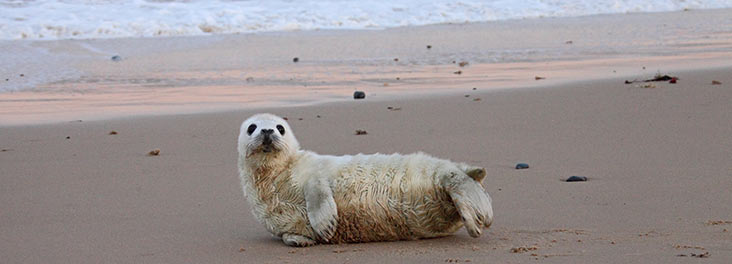 Seal pup alone on the beach ©  RSPCA Photolibrary