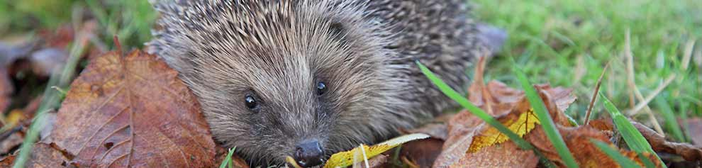 Hedgehog in autumn leaves © RSPCA Photolibrary