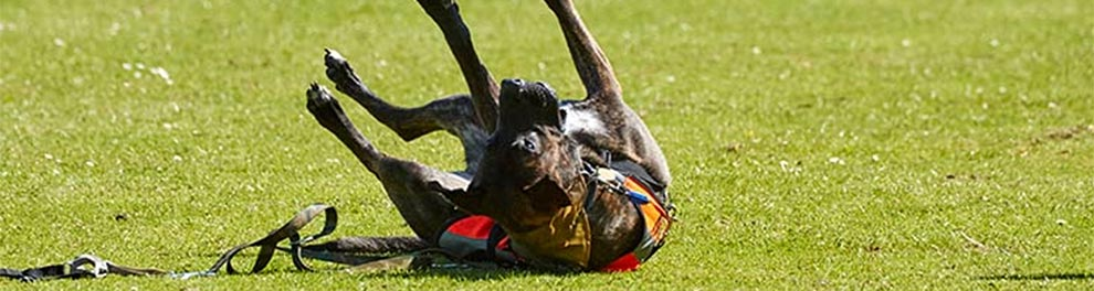 Dog rolling on the grass on a hot sunny day © RSPCA Photolibrary