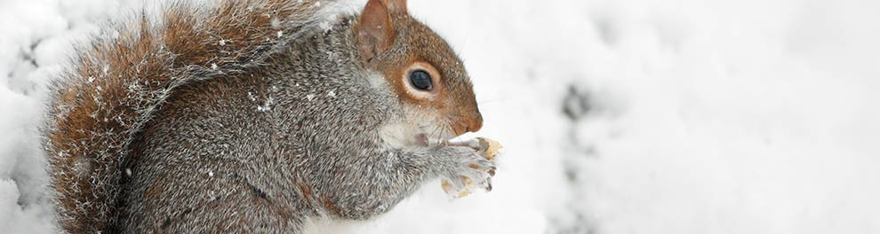 Squirrel in the snow © RSPCA photolibrary