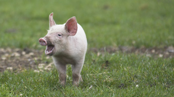 Piglet standing in a field and squeaking © RSPCA