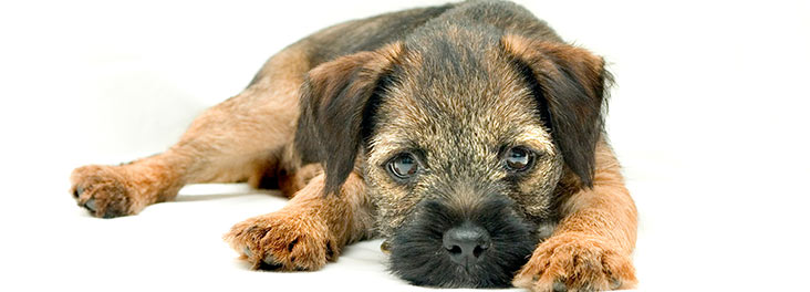 Border Terrier Single puppy lying in studio © RSPCA photolibrary