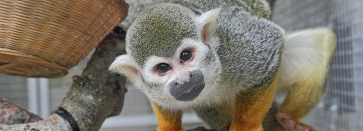 Squirrel monkey on a branch © RSPCA