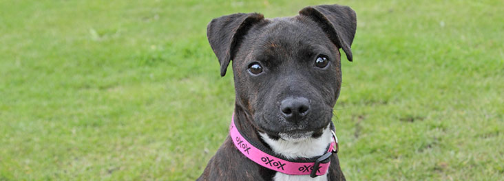 Staffordshire bull terrier puppy outside © RSPCA photolibrary