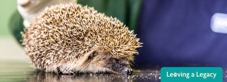 Hedgehog lying on vet table © RSPCA photolibrary