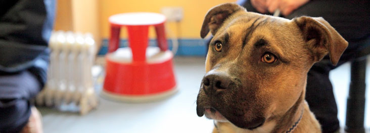 Portrait of juvenile Mastiff © RSPCA photolibrary