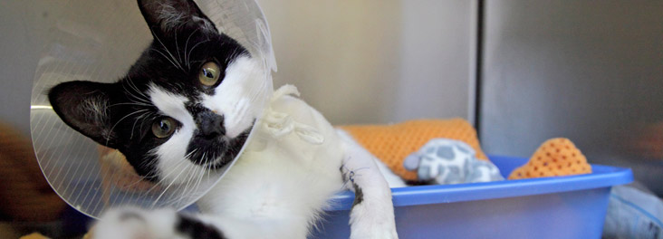 Portrait of single kitten recovering © RSPCA photolibrary